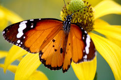 Mariposa común del tigre Fotos de archivo libres de regalías