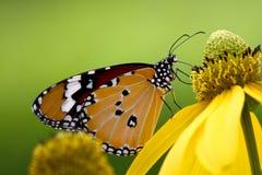 Mariposa común del tigre Fotografía de archivo libre de regalías