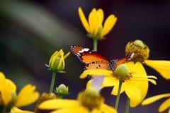 Mariposa común del tigre Imagen de archivo libre de regalías