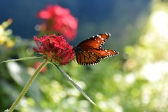 Mariposa con la flor roja Foto de archivo libre de regalías