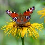 Mariposa con las alas abiertas sobre la flor Primer macro con rojo Fotos de archivo libres de regalías