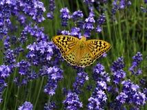 Mariposa con las alas anaranjadas en una flor de la lavanda Imágenes de archivo libres de regalías