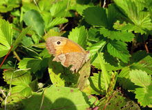 Mariposa con las alas quebradas Foto de archivo