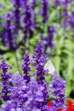Mariposa con lavanda Foto de archivo libre de regalías