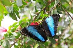 Mariposa congregada de Morpho Fotografía de archivo