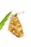 Mariposa crescent, género Phyciodes Fotografía de archivo