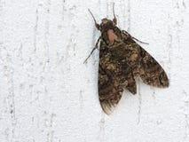Mariposa, détails d'aile et fond blanc Photo libre de droits