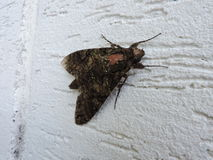 Mariposa, détails d'aile et fond blanc Images stock