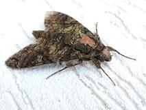 Mariposa, détails d'aile et fond blanc Photos libres de droits