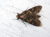 Mariposa, détails d'aile et fond blanc Photos stock