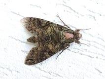Mariposa, détails d'aile et fond blanc Image stock