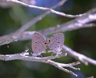 Mariposa de acoplamiento Imagen de archivo libre de regalías