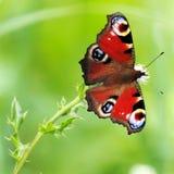 Mariposa de Aglais io Fotografía de archivo