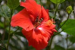 Mariposa de alimentación Imagen de archivo