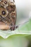 Mariposa de Aquiles Morpho Imagen de archivo