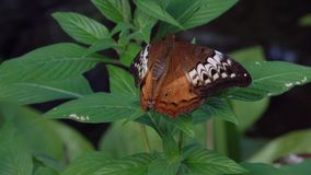 Mariposa de argus del chocolate que agita en las flores que chupan el néctar almacen de metraje de vídeo