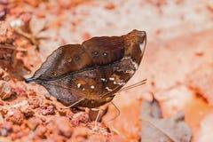 Mariposa de Autumn Leaf Fotografía de archivo