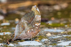 Mariposa de Autumn Leaf Fotografía de archivo libre de regalías