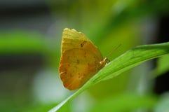 Mariposa de azufre despejada amarilla Imagen de archivo