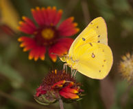 Mariposa de azufre nublada amarillo brillante Imagen de archivo libre de regalías