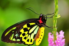 Mariposa de Birdwing de los mojones (superficie inferior) Fotos de archivo libres de regalías
