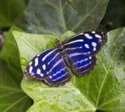 Mariposa de Bluewing del mexicano, cyaniris de Myscelia Imagen de archivo