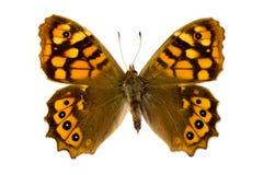 Mariposa de Brown Imagen de archivo
