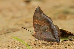 Mariposa de Brown Fotos de archivo