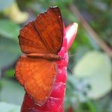 Mariposa de Brown Foto de archivo