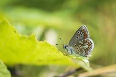 Mariposa de Brown argus, agestis de Aricia encaramados Imagen de archivo libre de regalías