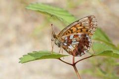Mariposa de Brown con las alas manchadas Imágenes de archivo libres de regalías