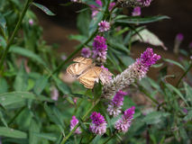 Mariposa de Brown en la flor por la mañana del jardín Foto de archivo libre de regalías