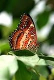 Mariposa de Brown en la hoja verde Imagen de archivo