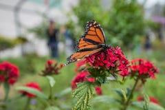 Mariposa de California en las flores 1 Imagen de archivo libre de regalías