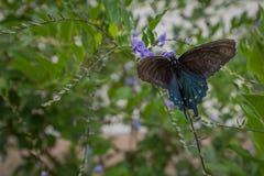 Mariposa de California en las flores 6 Foto de archivo libre de regalías