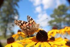 Mariposa de Canadá Imagen de archivo