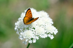 Mariposa de cobre común Imágenes de archivo libres de regalías