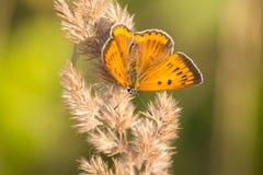 Mariposa de cobre grande Fotografía de archivo