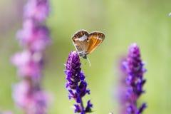 Mariposa de Coenonympha Glycerion Fotografía de archivo libre de regalías