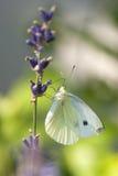 Mariposa de col Fotografía de archivo
