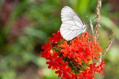 Mariposa de col fotos de archivo