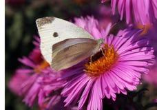 Mariposa de col blanca fotografía de archivo libre de regalías