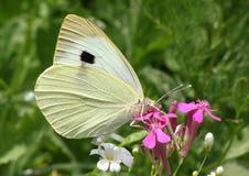 Mariposa de col blanca Fotografía de archivo