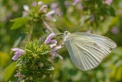 Mariposa de col blanca fotos de archivo