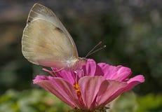 Mariposa de col blanca en la flor fotografía de archivo