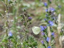 Mariposa de col blanca que busca para el néctar Foto de archivo libre de regalías