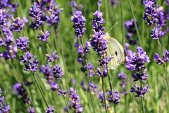 Mariposa de col de Buterfly en la flor, macro Fotografía de archivo