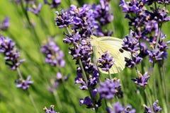 Mariposa de col de Buterfly en la flor, macro Foto de archivo libre de regalías
