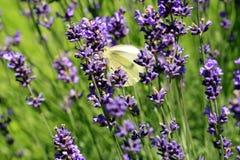 Mariposa de col de Buterfly en la flor, macro Imágenes de archivo libres de regalías