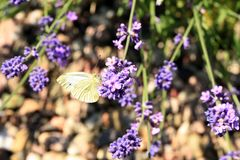 Mariposa de col de Buterfly en la flor, macro Fotos de archivo